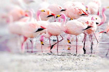 Bolivie - Sud Lipez - Flamant rose des andes