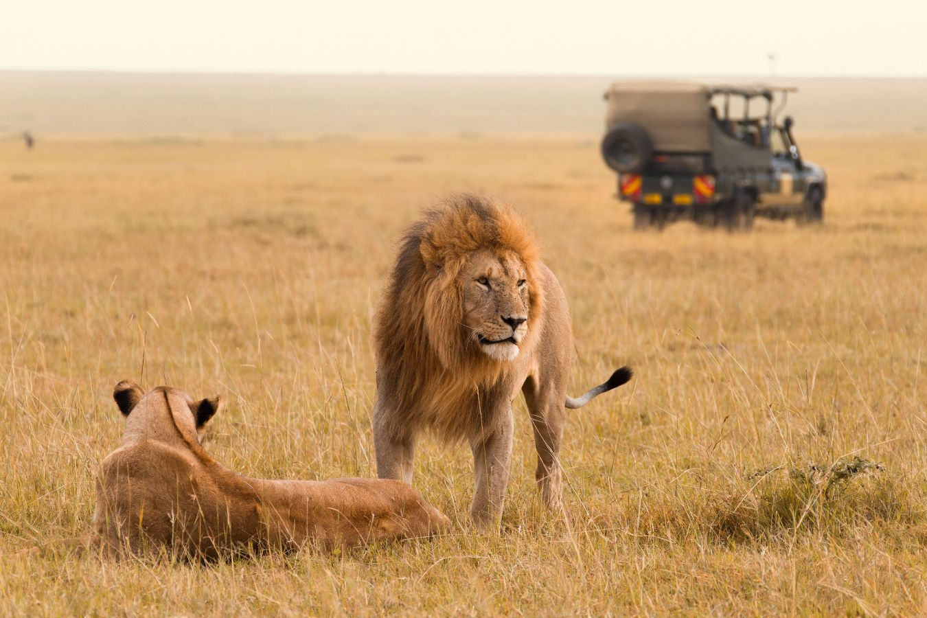 Kenya - Couple de lions